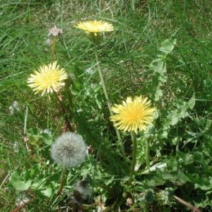 Одуванчик: описание растения и сбор сырья