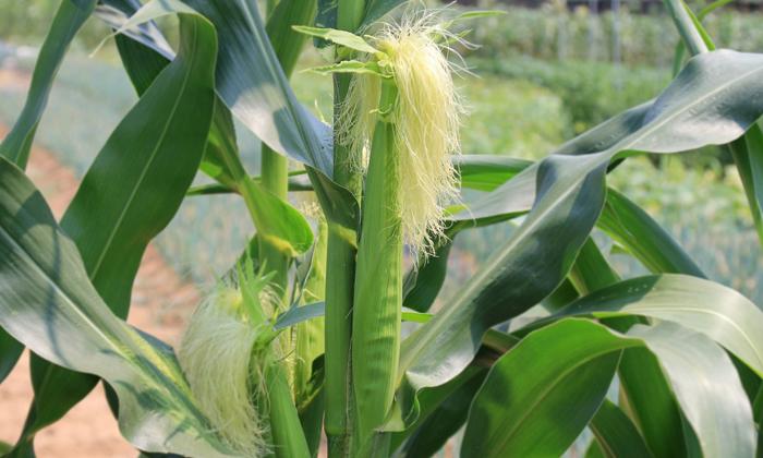 От поноса помогут избавиться кукурузные рыльца