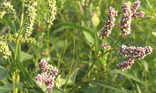Из почечуйной травы, готовят настои, отвары, ректальные свечи, мази, компрессы и другие противогеморройные средства