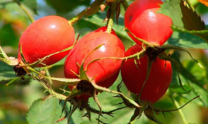 В состав препарат входит жидкий экстракт шиповника (плоды)
