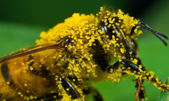 Для изготовления средств Тенториум применяют пыльцу