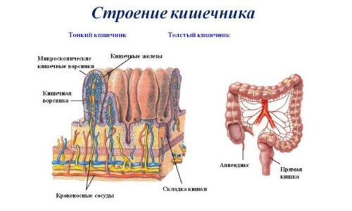 Тонкая кишка – это трубчатый орган, который начинается от уровня привратника желудка и заканчивается на уровне подвздошно-слепокишечного отверстия