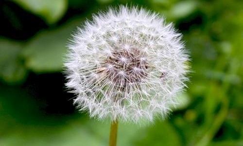 Когда цветы отцветают (июнь-август), на их месте появляется плоды в виде тонких волосков, собранных в шар