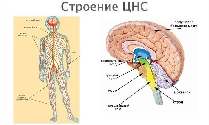 Дарсонваль нормализует работу центральной нервной системы