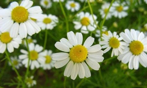 Для лечебных ванночек можно брать настой цветков ромашки