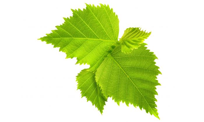 Сбор при геморрое № 6 включает в себя листья берёзы