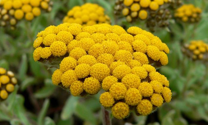 В Микрофитотерапевтический сбор № 14 входят цветы бессмертника