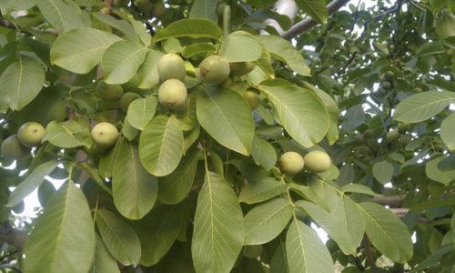 Как говорилось раньше, для лечения геморроя применяют не только ядра грецкого ореха, но и другие части дерева