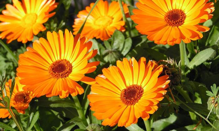 Сбор при геморрое № 6 включает в себя цветы календулы