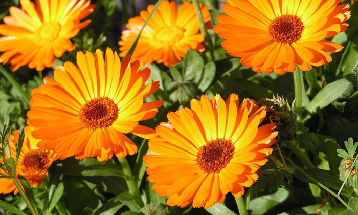 Снять болевой синдром и воспалительный процесс поможет цветок календулы