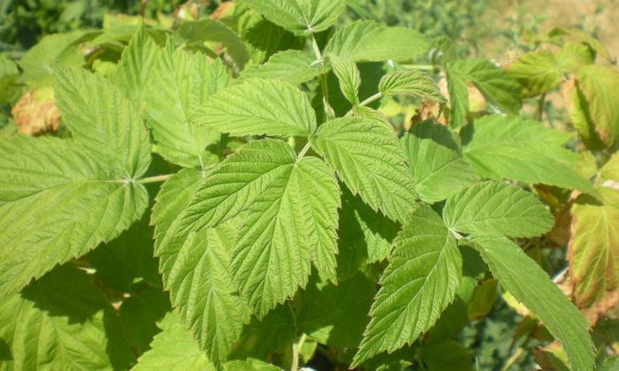 Снять болевой синдром и воспалительный процесс поможет лист малины