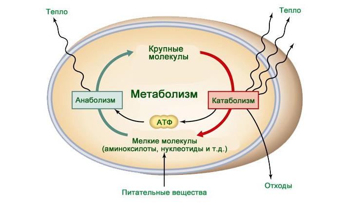 Зелёный чай повышает метаболизм веществ в организме