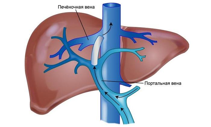 Застойные явления в геморроидальных венах прямой кишки возникают по причине повышенного кровяного давления в печеночных венах