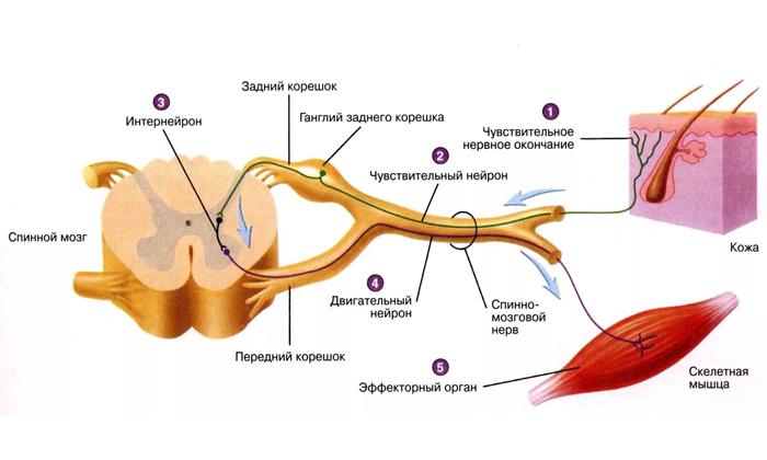Вследствие применения препарата прекращается генерация импульсов в нервных рецепторах