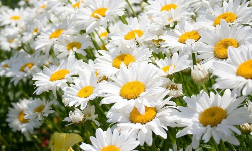 Из цветков ромашки делают сидячие ванночки