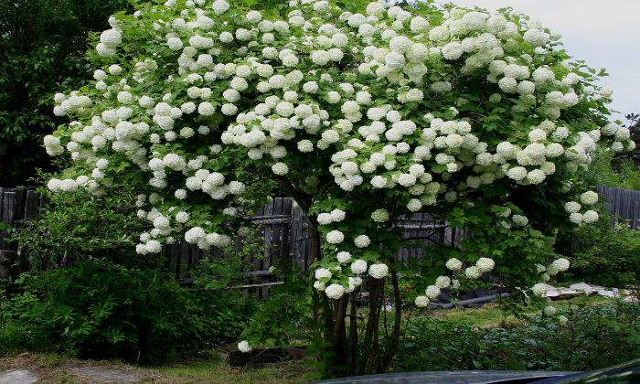 Цветы кустабелого цвета с розовым оттенком, собранные в зонтики. Период цветения растения попадает на конец мая или начало июня