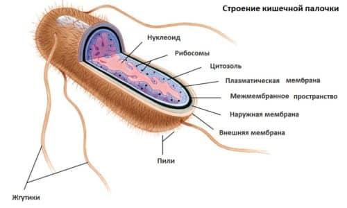 Простатит кишечной палочкой боль в яичниках при простатите