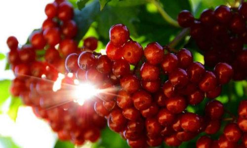 Применяя средства, приготовленные из коры или ягод калины, можно не только пополнить организм витаминами и минералами, но и эффективно устранить воспаление в области заднего прохода