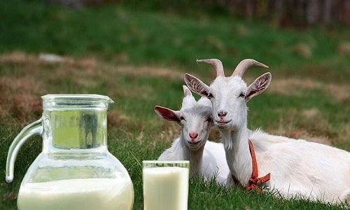 Рекомендуется употреблять козье молоко незадолго до полового акта для увеличения продолжительности эрекции