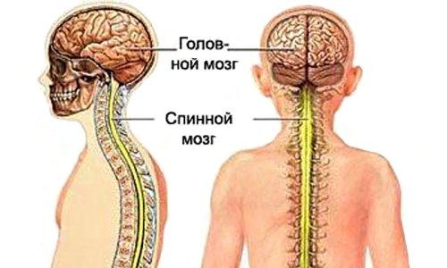 Фенилэфрин стимулирует активность головного и спинного мозга