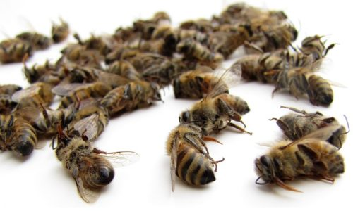Пчелиный подмор - это тельца погибших насекомых. Средство дает хорошие результаты в лечении предстательной железы