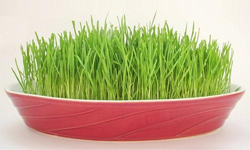 Витамином Е богаты пророщенные зерна пшеницы