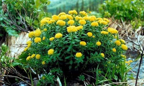 Золотой корень используют в качестве природного возбудителя. Наибольшей эффективностью обладает свежий корень растения