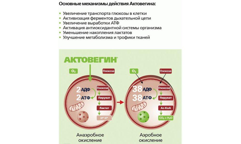 Актовегин улучшает транспорт и утилизацию глюкозы, а также стимулирует потребление кислорода. Антигипоксическое действие проявляется через полчаса после приема средства