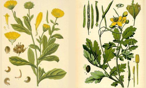 Такие травы, как чистотел и календула хорошо знакомы в народной медицине, по отдельности их применяют для лечения многих болезней