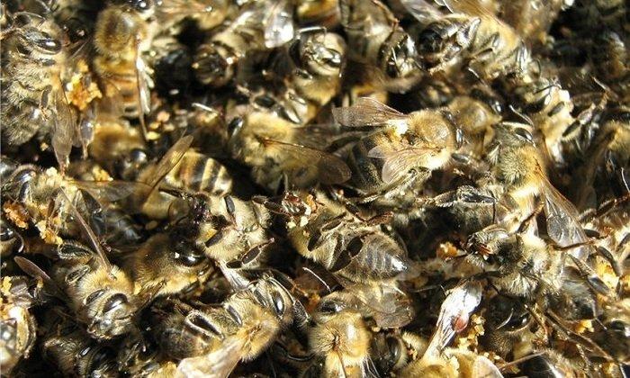 Пчелиный подмор - это погибшие пчелы