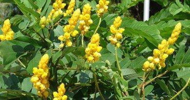 Сенны листья — средство для борьбы с геморроем