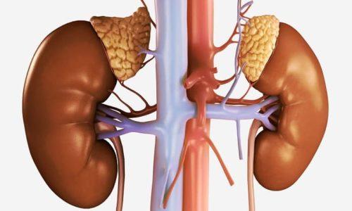 Кортизол (гидрокортизон) выделяется корковой тканью надпочечников под влиянием адренокортикотропина