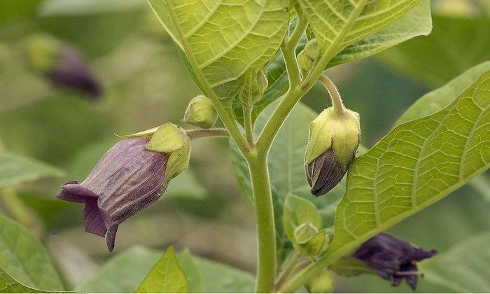Наивысшая концентрация активных веществ - в листьях и стеблях растения, а в плодах, цветах и корневищах она ниже