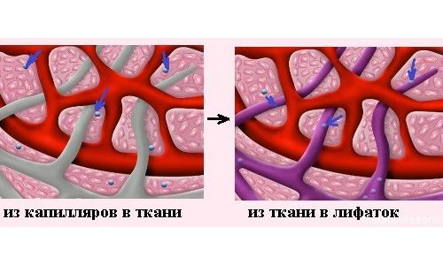 Диосмин положительно воздействует на кровеносную и лимфатическую систему