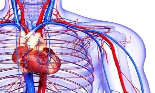 Активные вещества оказывают положительное влияние на кровообращение в сосудах и капиллярах