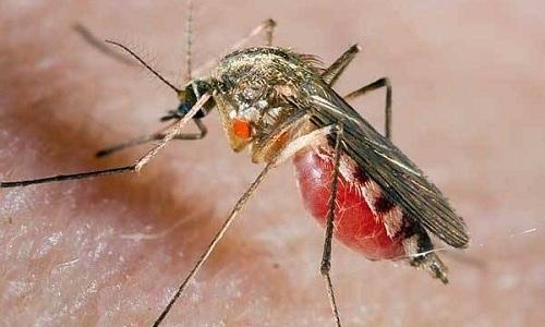 Яйца глистов попадают в человеческий организм с слюной насекомых при их укусах