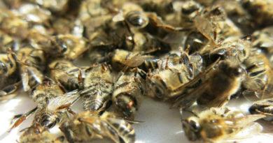 Как проводить лечение аденомы простаты пчелиным подмором