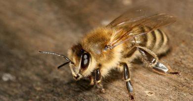 Апитерапия или лечение простатита пчелами